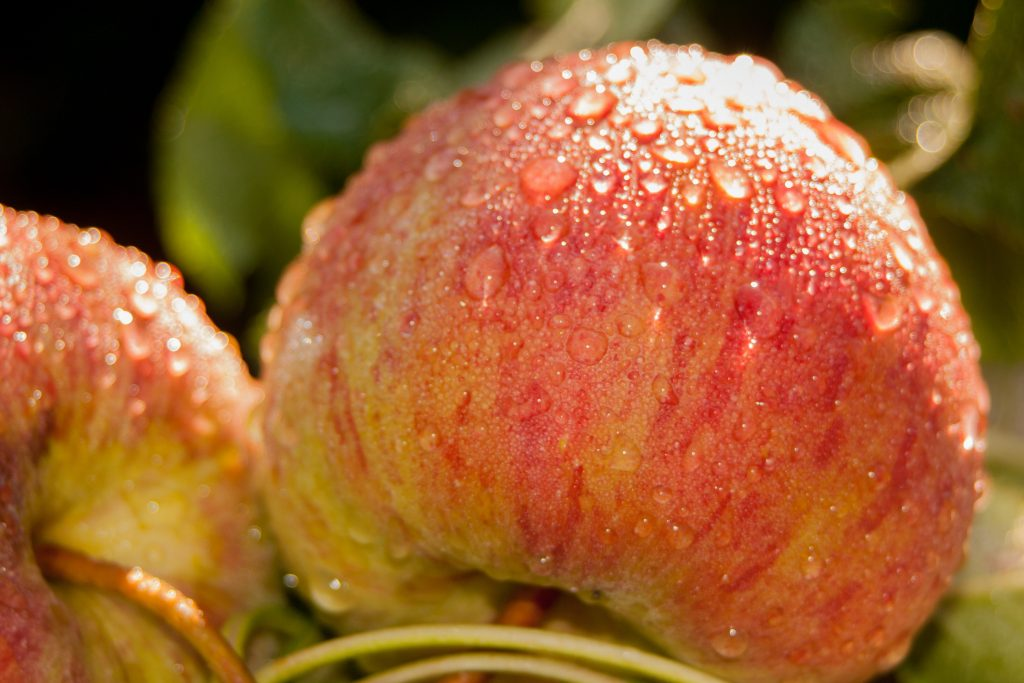 Example of food photography featuring apples on a tree